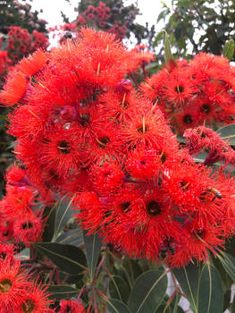 Bees In The Red Flowering Gum