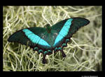 Butterfly by redwoody