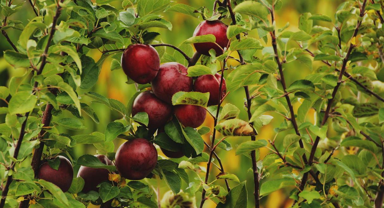 apples_02 by Sofedar