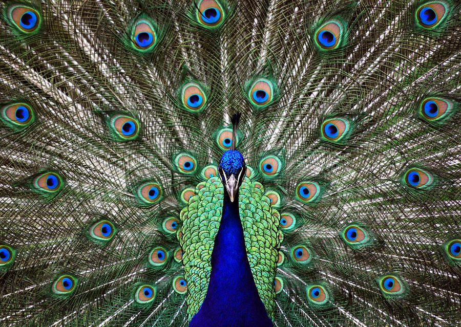 Image result for Images- symmetry- peacock