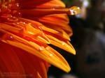 Chrysanthemum Series 4.5 by DARK0NA