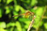 Dragonfly by dimitriui