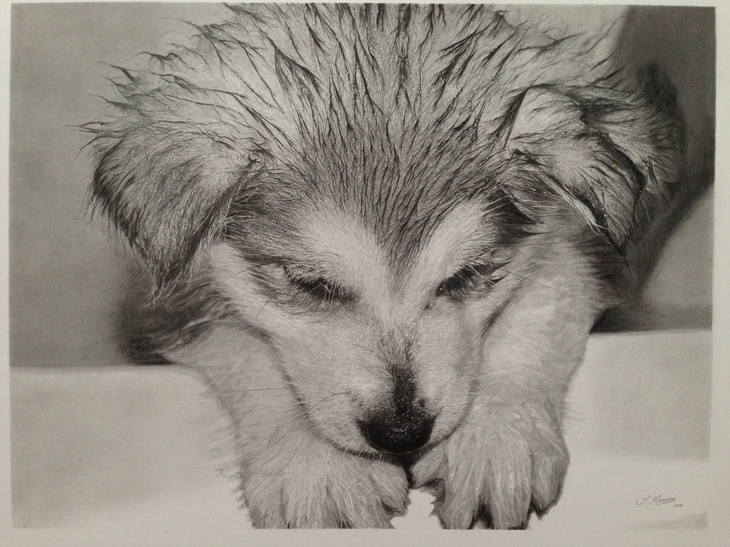Husky pup 'bath time' Pencil drawing by SamanthaMessias