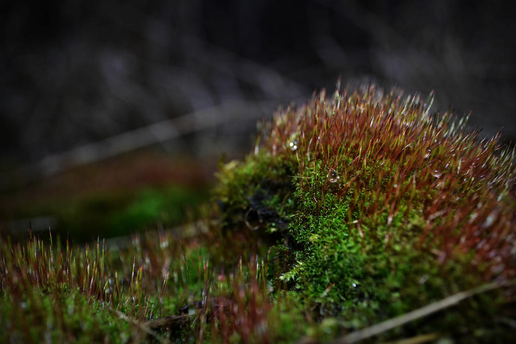 waterdrops on moss by DaydreamingShadow