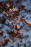 cherry blossom by cheah77