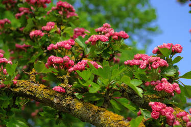pink blossom tree--1