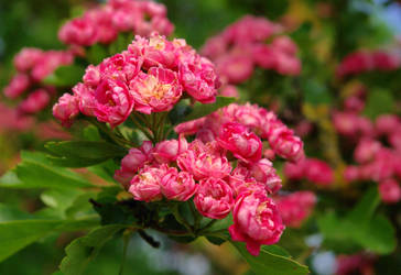 pink blossom tree--2