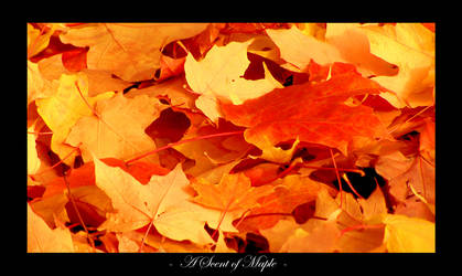 A Scent of Maple