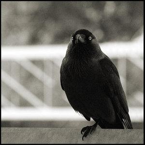 Karasu, Kurai's Crow The_Crow__by_winduphearts