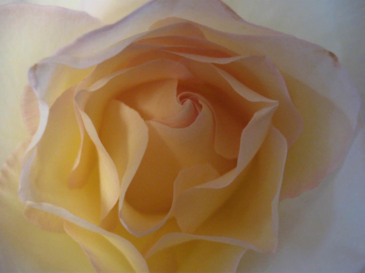 white rose by Eris-stock