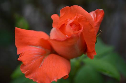 Mac-Rose in soft light