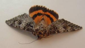 Moth 2 by Eris-stock