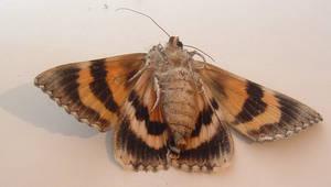 Moth 3 by Eris-stock