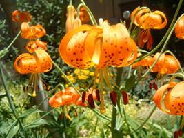 Pumpkin Parachute Lillies by Eris-stock