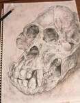 Orangutan Skull by SFrostWing