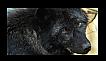 Female Wolf Stamp by Kimberway