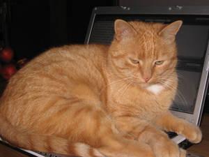 Cat on the Laptop