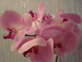 Orchids by Philosopher-Vinni