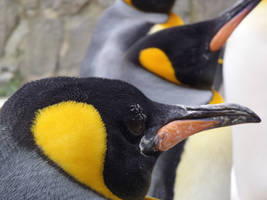 King Penguin by FluteJazz