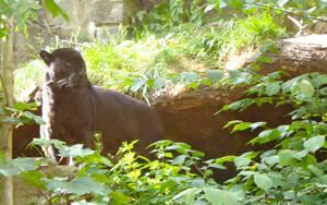 Black Jaguar by FluteJazz