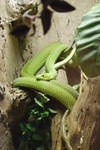 East African Green Mamba 01