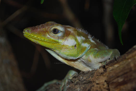 Ricord's Anole