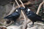 White-Necked Ravens 01