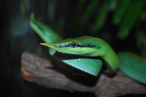 Pair of Vietnamese Leaf-Nosed Snakes by ManitouWolf