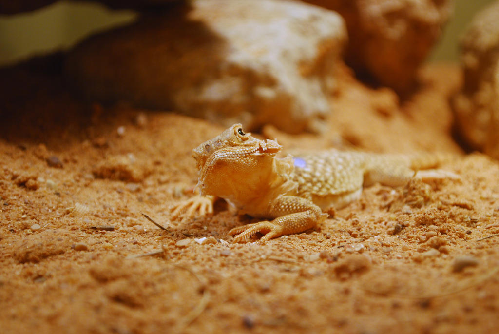 Secret Toad Headed Agama by ManitouWolf
