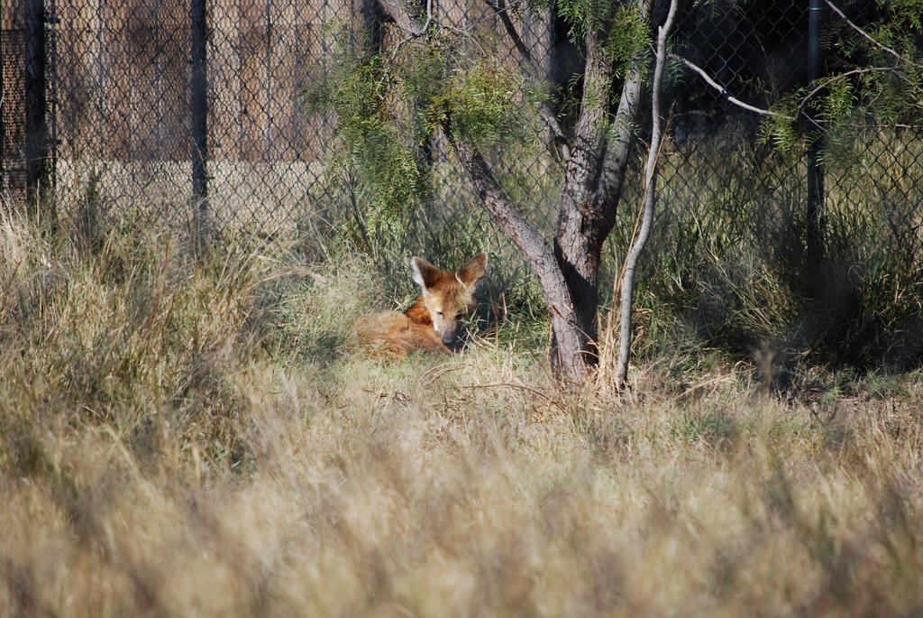Maned Wolf by ManitouWolf