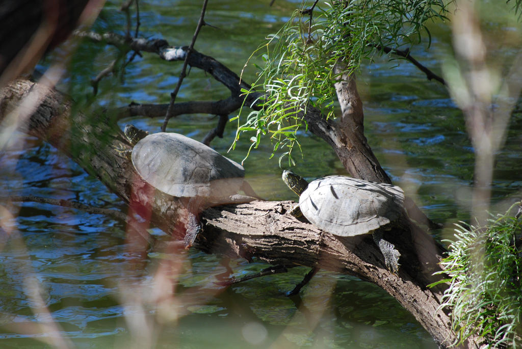 Red-Earred Sliders by ManitouWolf