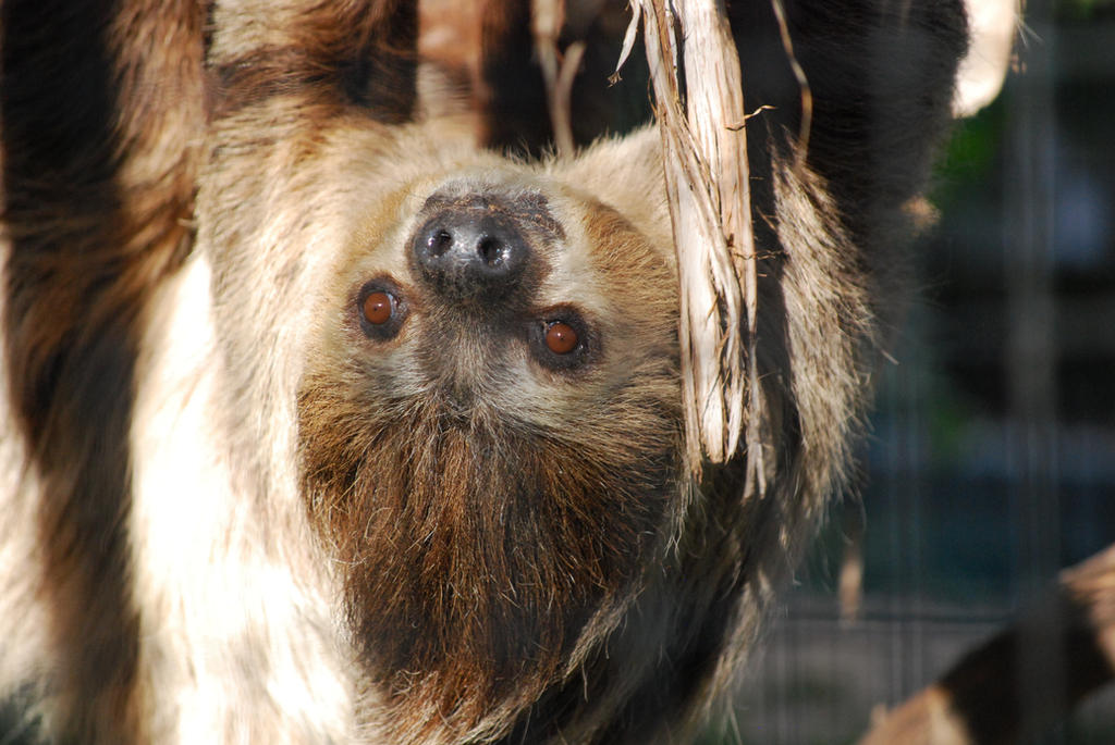 Linne's 2-Toed Sloth by ManitouWolf