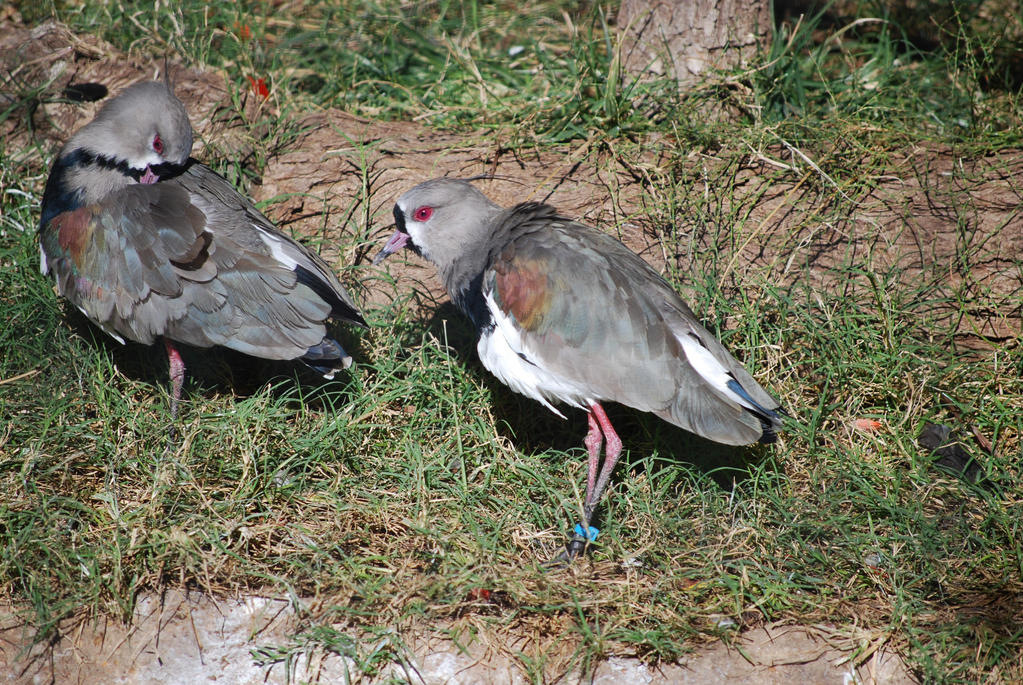 Southern Lapwings by ManitouWolf