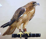 Female Red Tailed Hawk 01 by ManitouWolf