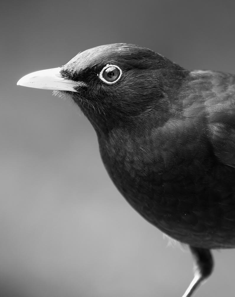 European Blackbird - Turdus merula by JesseAlveo