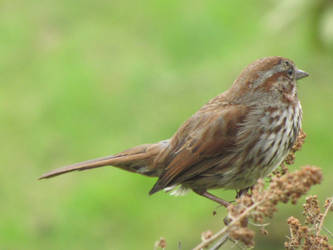Song Sparrow by HornedKing