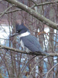 Belted Kingfisher by HornedKing