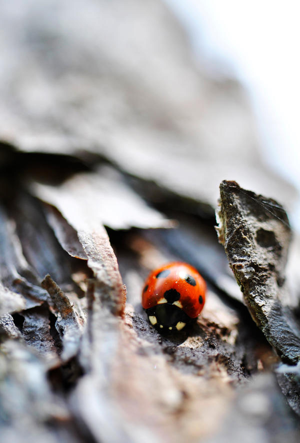 Ladybird by KattFloka