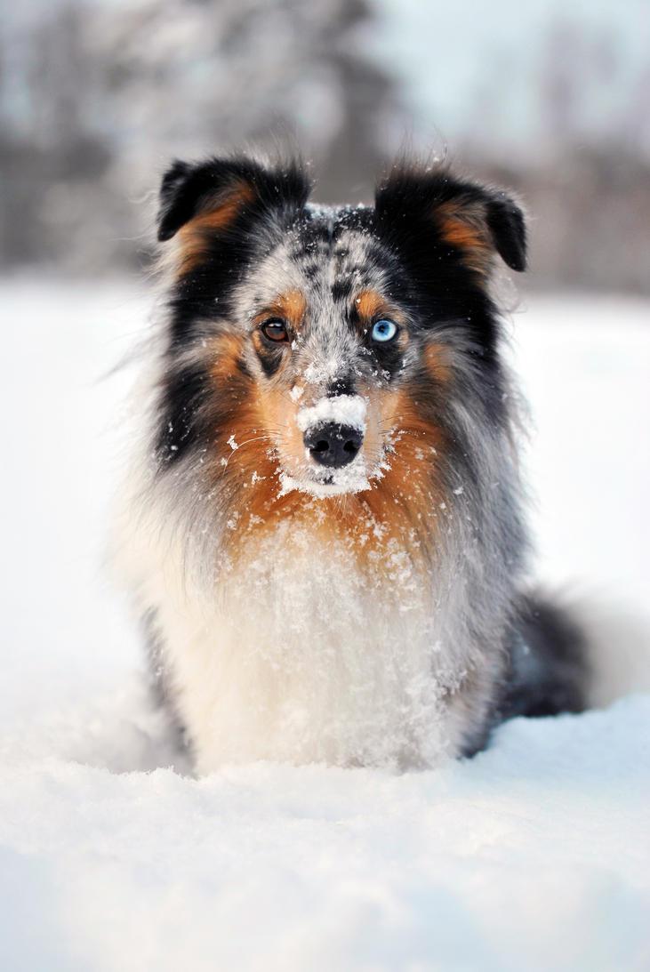 Snow Sheltie by KattFloka