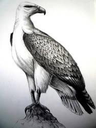 Sea eagle by Schinkenspicker