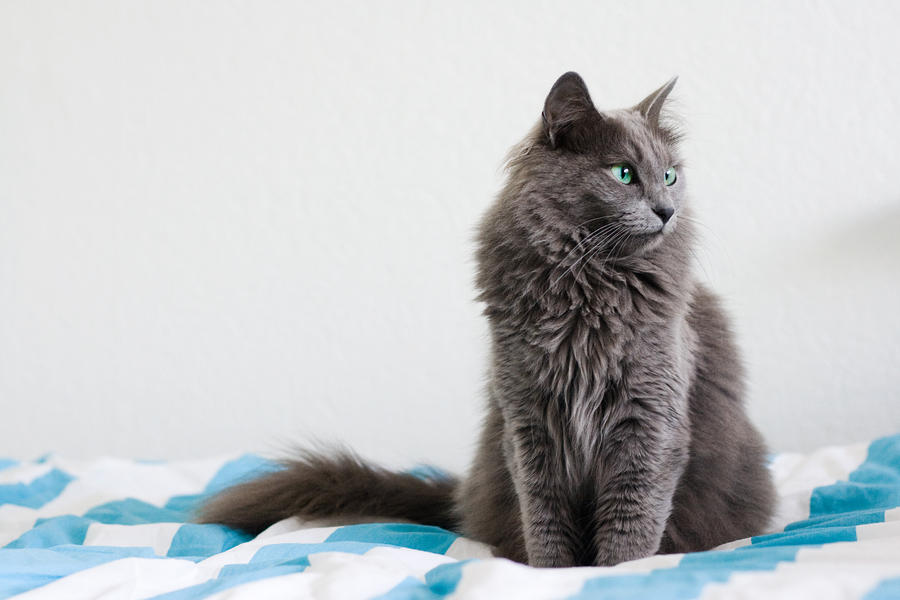 Russian Blue Cat Breeders Houston