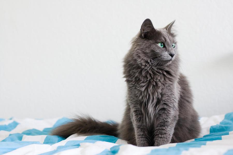 Russian Blue Cat Fur Turning Brown