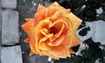 Rose orange and yellow