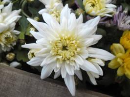 Dahlia Flower by Johnny-Aza