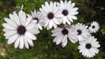 Flowers / Margaritas del Cabo