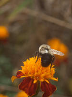 Bombus Impatiens from Behind by Genflag