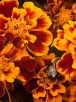 Bombus Impatiens Hiding in by Genflag