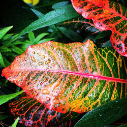 Rainbows on a Leaf.