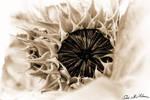 #sunflower memory by ariadnedg