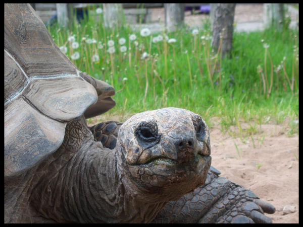 Tortoise by azkardchic
